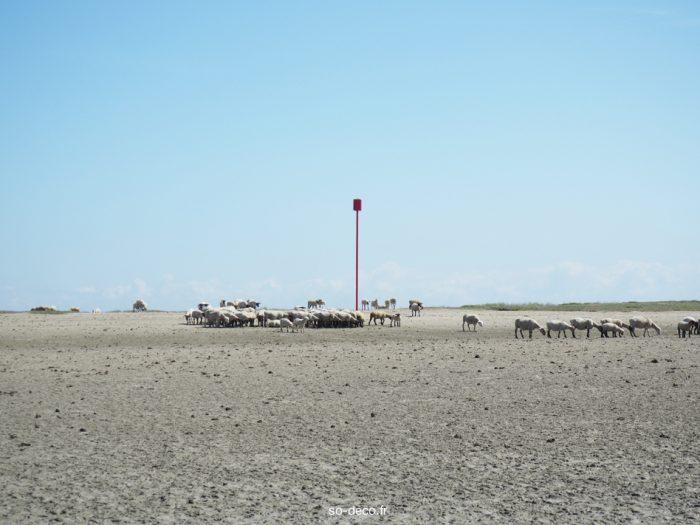 moutons-baie-de-somme